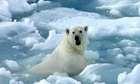 oso polar, Ártico, calentamiento global, Rusia, canibalismo