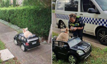 perro, conductor, auto, patrulla, Australia, viral,