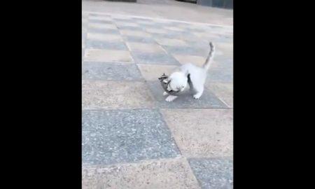 Petauro del azucar, gato, doma, juego, animales, mascotas, video, viral