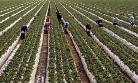 trabajadores agrícolas, California, pandemia, EEUU, precarización laboral, Trump, coronavirus, covid-19