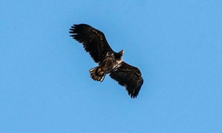Águilas de cola blanca, águila, cielo, Reino Unido