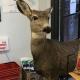 ciervo, EEUU, actualidad, Colorado, chistoso, cómico, sorpresa