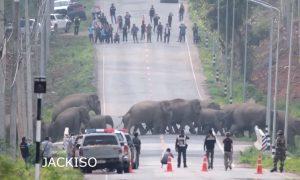 Elefantes, cruzan, calle, vialidad, carros, tráfico, Tailandia, video, viral