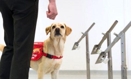 Perro, entrenamiento, detectar, olor, olfato, Covid-19, coronavirus, detectar