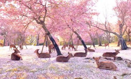 Cerezos, Japón, parque, internacional, hábitat, animales