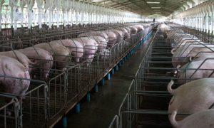 Granjas porcinas, Yucatán, agua, contaminación, crueldad animal, medio ambiente, hábitat