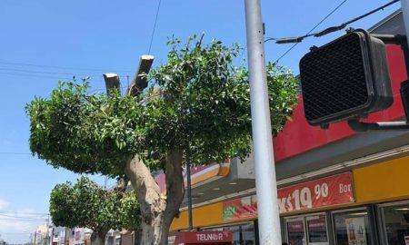 alcalde, Tijuana, árbol