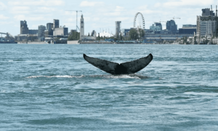 ballena jorobada, Montreal, costas, animal, Canadá, mar