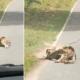 serpiente, devorar, ciervo, animales, animales salvajes, Tailandia, video viral