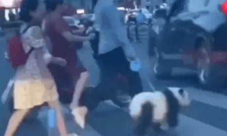 video viral, viral, panda, perro, China, ciudad