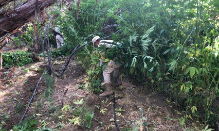 marihuana, batallón de infantería, decomiso, sedena