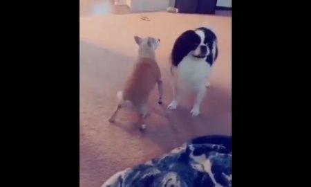 Perro, Chihuahua, baile, perreo, twerk, video, viral, redes sociales