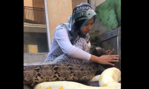 joven, mascota, pitones, serpientes, Indonesia, video viral, tendencia