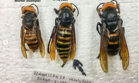 Avispa Asesina, capturada, Estados Unidos, estudio, abejas, panal, colmena