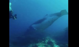 Ballena jorobada, joven, video, buceo, mar, Australia