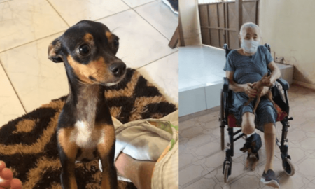 Chihuahua, can, perra, anciana, silla de ruedas, discapacidad