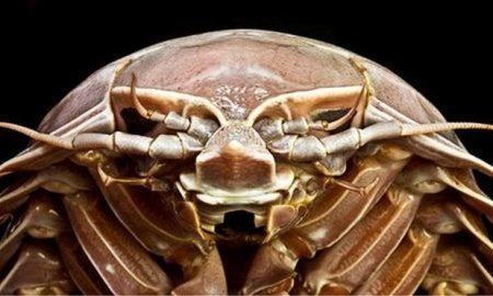 Cucaracha, gigante, mar, oceáno, animal marino, descubrimiento