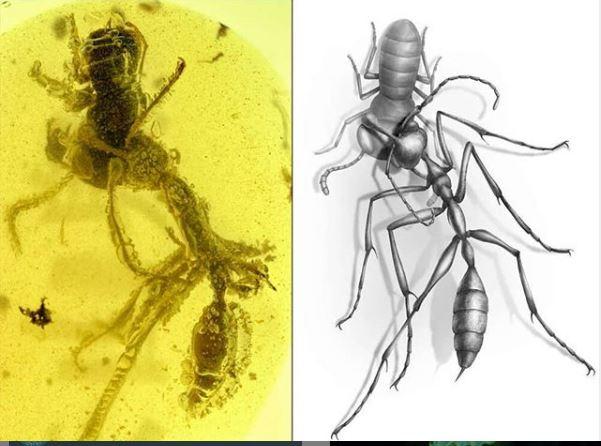 Hormigas, pelea, conservadas, ámbar, descubrimiento, estudio