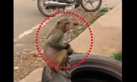 Mono, cría, atropellada, accidente, animal, video viral