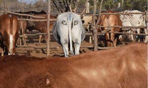 Ganado, rebaño, ojos, pintado, trasero, protección, depredadores, felinos, leones, Australia