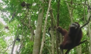 Orangután, sin brazos, árboles, medio ambiente, animal salvaje, video viral