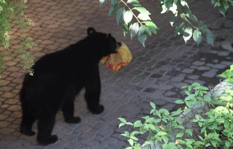 oso, roba, pollo asado, video viral, Monterrey, tendencia