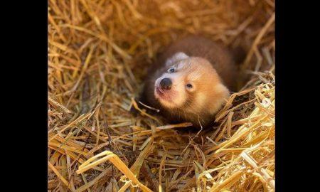 Panda Rojo, cría, bebe, llegada, zoológico
