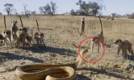 video, suricatas, cobra, video viral, hábitat, ataque