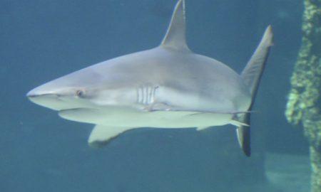 Los Cabos, tiburones, playas, Baja California Sur, animal marino