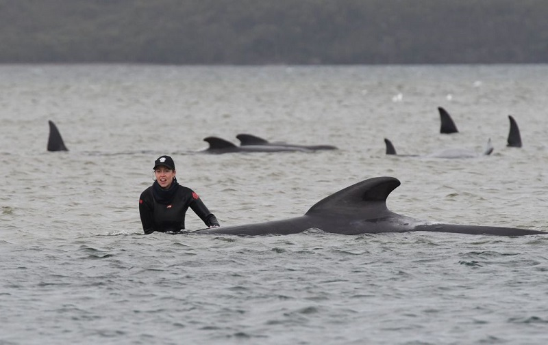 Ballenas, varadas, mueren, fallecen, Australia