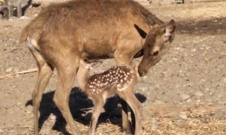 Ciervo, Parque Morelos, Animal