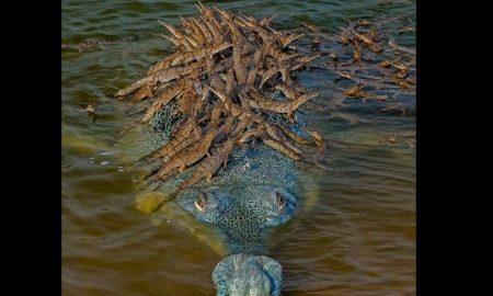Cocodrilo, crías, agua, foto, medio ambiente