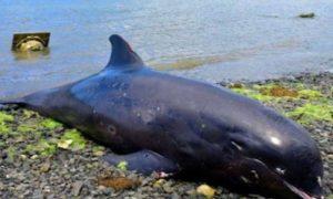 Delfín, cría, petróleo, derrame de petróleo, oceáno, contaminación