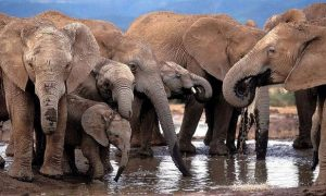 Cianobacterias, envenenamiento, elefantes, Sudáfrica, muerte, bacterias