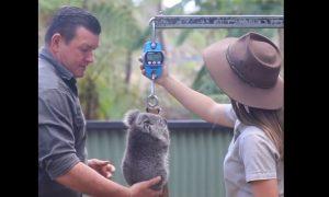 Koalas, revisión, salud, habitat
