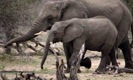 elefantes, sin vida, Zimbabue, muertos, envenenamiento