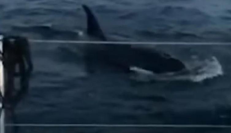 orcas, ataque, yate, turistas, España, video viral