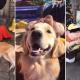 golden retriever, disneylandia, TikTok, perrito, viral, Disney