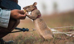 Magawa, rata, minas, minerales, roedor, Camboya