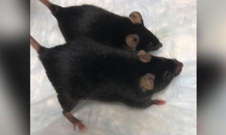 ratones, genética, protección, astronautas, NASA, gravedad