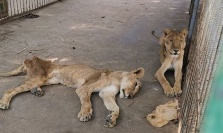 leones, desnutrición, Caza comercial, felino, maltrato animal