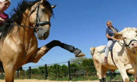 Toro, caballo, trucos, brincos, Aston
