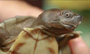 Tortuga de techo birmana, tortuga, extinción, salvan