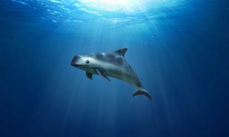 vaquita marina, redes, miriam cano
