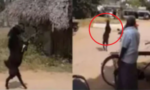 cabra, caminar, India, miedo, video viral, animal