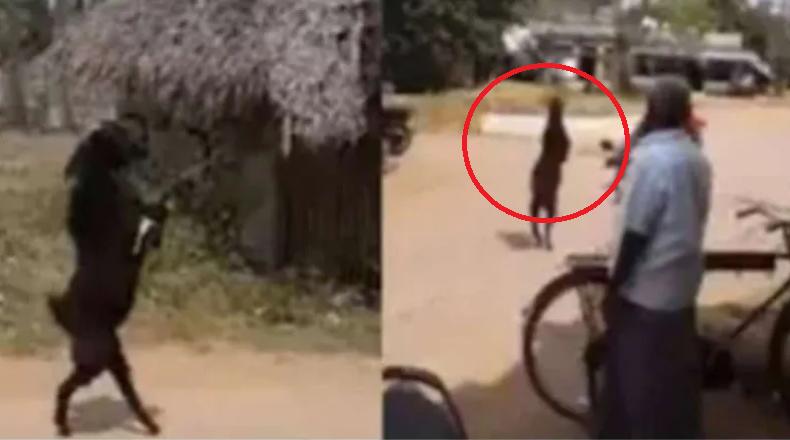 cabra, caminar, India, miedo, video viral, animal