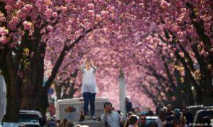 Calle, cerezos, flores, Alemania, internacional