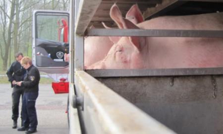 camión, cerdos, volcadura, animales, accidente