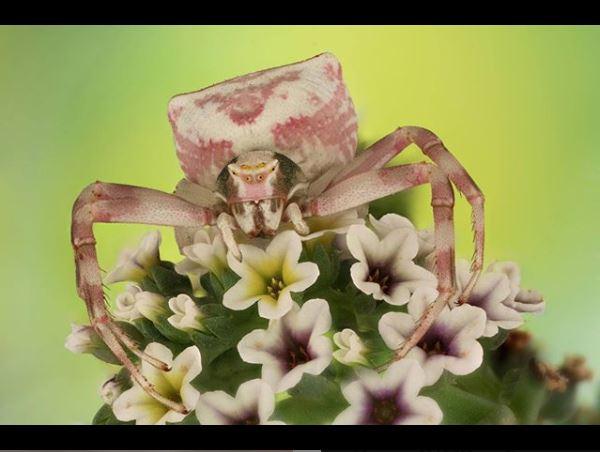 Cangrejo araña, premio, foto, ganadora, Mofeed Abu Shalwa, Luminar Bug Photography Awards 2020
