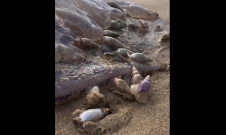 caracoles, comer, medusa, animal marino, video viral, animales